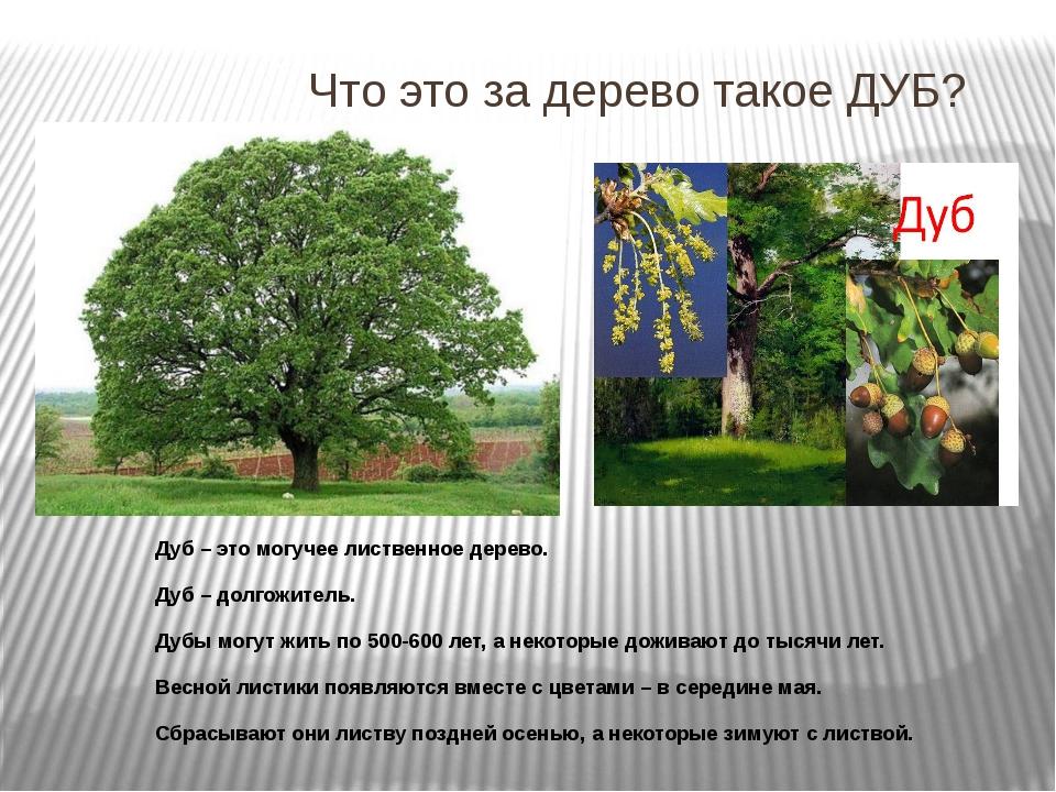 Что это за дерево такое ДУБ? Дуб – это могучее лиственное дерево. Дуб – долго...