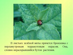 В листьях зелёной мяты прячется бронзовка с перламутровым терракотовым окрас