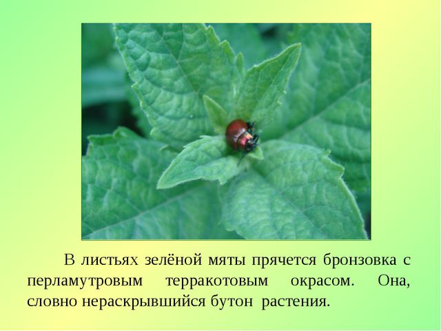В листьях зелёной мяты прячется бронзовка с перламутровым терракотовым окрас...