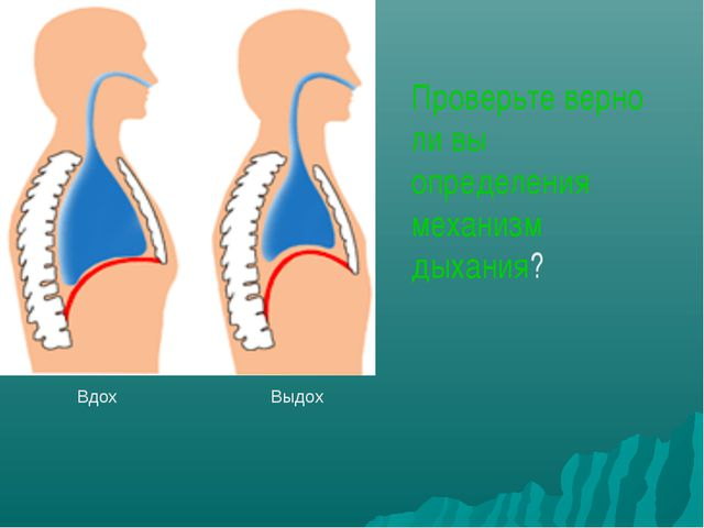 Вдох Выдох Проверьте верно ли вы определения механизм дыхания?