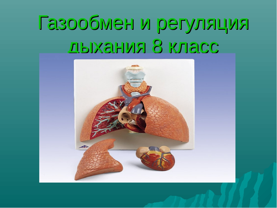 Газообмен и регуляция дыхания 8 класс