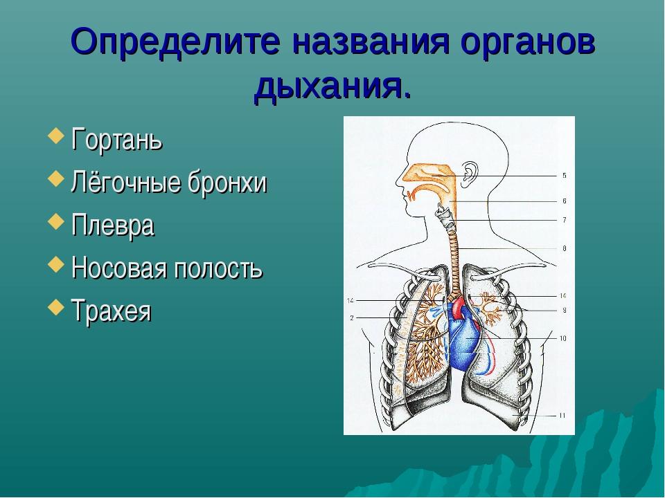 Определите названия органов дыхания. Гортань Лёгочные бронхи Плевра Носовая п...