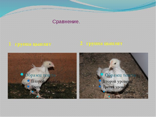 Сравнение. 1 группа цыплят 2 группа цыплят