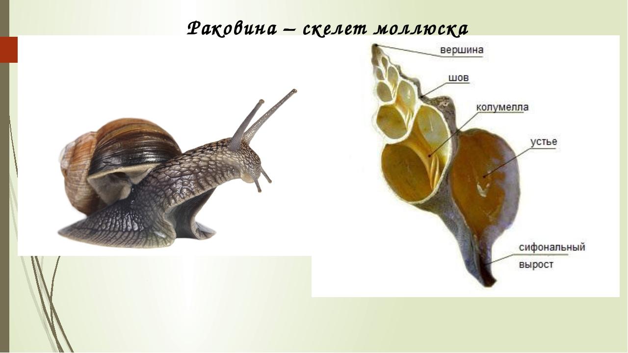 Раковина – скелет моллюска
