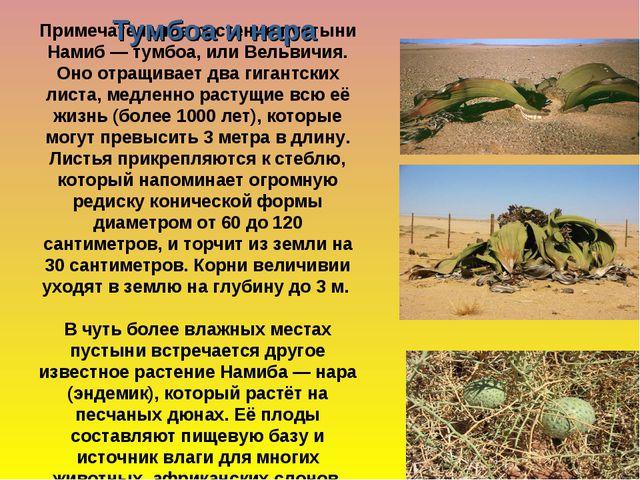 Примечательное растение пустыни Намиб— тумбоа, или Вельвичия. Оно отращивае...
