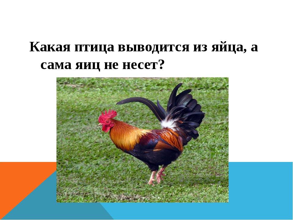 Какая птица выводится из яйца, а сама яиц не несет?