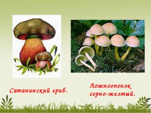 Сатанинский гриб. Ложноопенок серно-желтый.