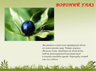 Это растение имеет очень характерный облик, его можно узнать сразу. Четыре ши