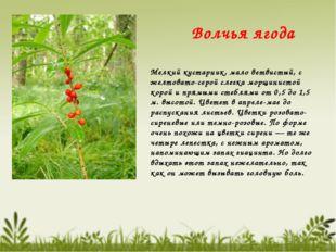 Волчья ягода Мелкий кустарник, мало ветвистый, с желтовато-серой слегка морщи