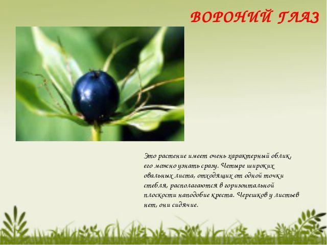 Это растение имеет очень характерный облик, его можно узнать сразу. Четыре ши...