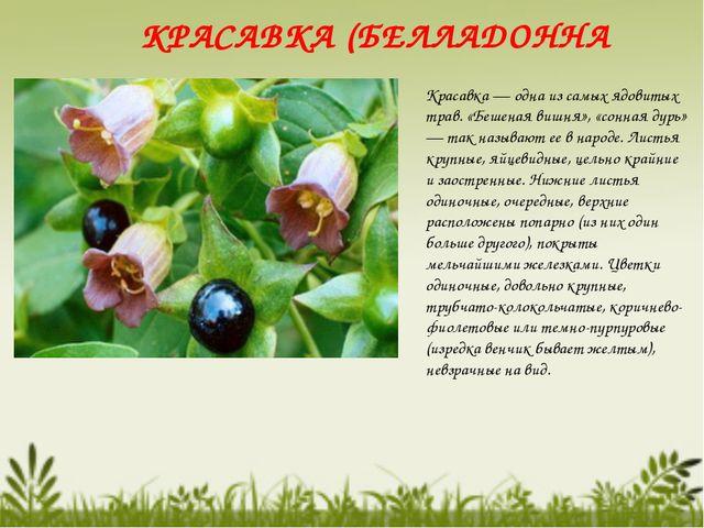 КРАСАВКА (БЕЛЛАДОННА Красавка — одна из самых ядовитых трав. «Бешеная вишня»,...