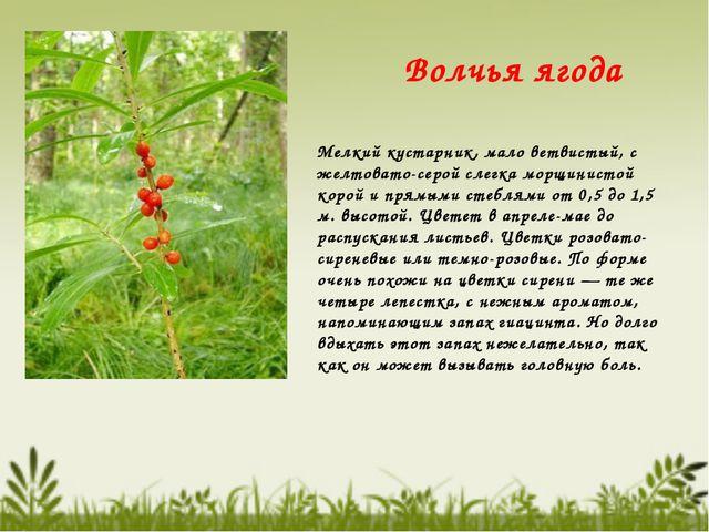 Волчья ягода Мелкий кустарник, мало ветвистый, с желтовато-серой слегка морщи...