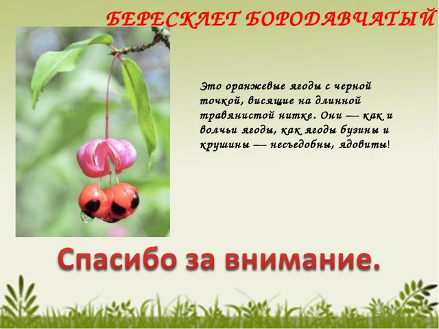 БЕРЕСКЛЕТ БОРОДАВЧАТЫЙ Это оранжевые ягоды с черной точкой, висящие на длинно...