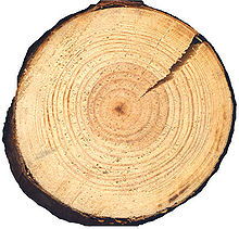 http://upload.wikimedia.org/wikipedia/commons/thumb/a/a4/Pinus_silvestris_cross_beentree.jpg/220px-Pinus_silvestris_cross_beentree.jpg