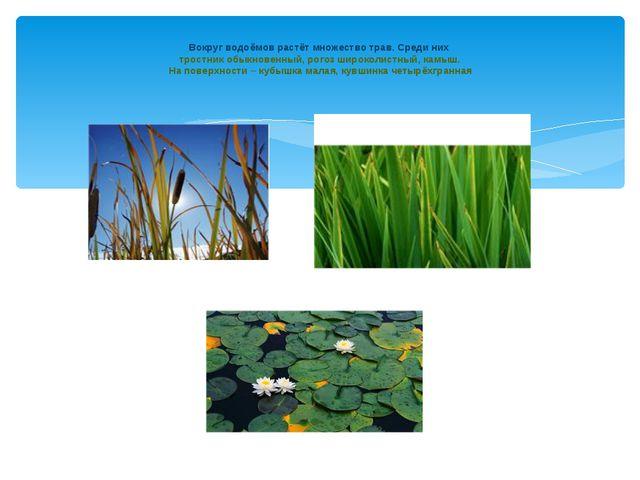 Вокруг водоёмов растёт множество трав. Среди них тростник обыкновенный, рого...