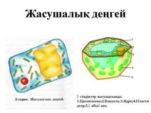 Өсімдіктер жасушасында: 1.Цитоплазма;2.Вакуоль;3.Ядро;4.Пластидтер;5.Қабықша;