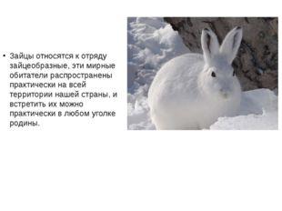 Зайцы относятся к отряду зайцеобразные, эти мирные обитатели распространены п