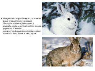 Заяц является грызуном, его основная пища это растения, зерновые культуры, бо