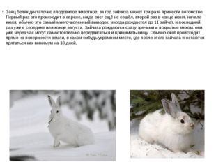 Заяц беляк достаточно плодовитое животное, за год зайчиха может три раза прин
