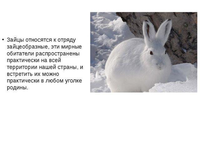 Зайцы относятся к отряду зайцеобразные, эти мирные обитатели распространены п...