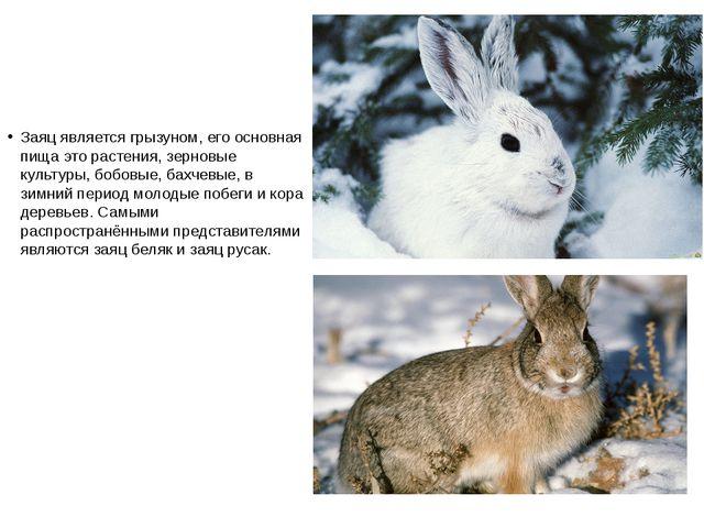 Заяц является грызуном, его основная пища это растения, зерновые культуры, бо...