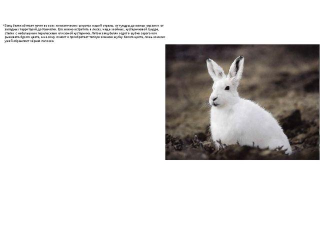 Заяц беляк обитает почти во всех климатических широтах нашей страны, от тундр...