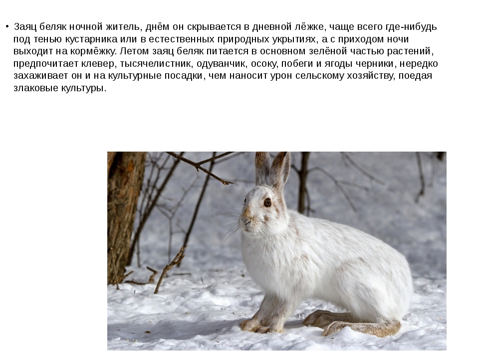 Заяц беляк ночной житель, днём он скрывается в дневной лёжке, чаще всего где-...