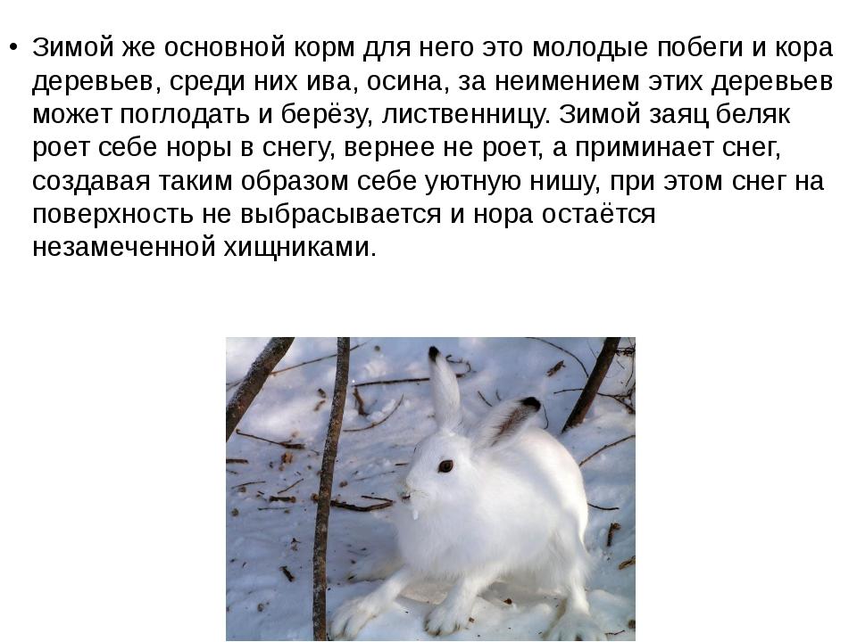 Зимой же основной корм для него это молодые побеги и кора деревьев, среди них...
