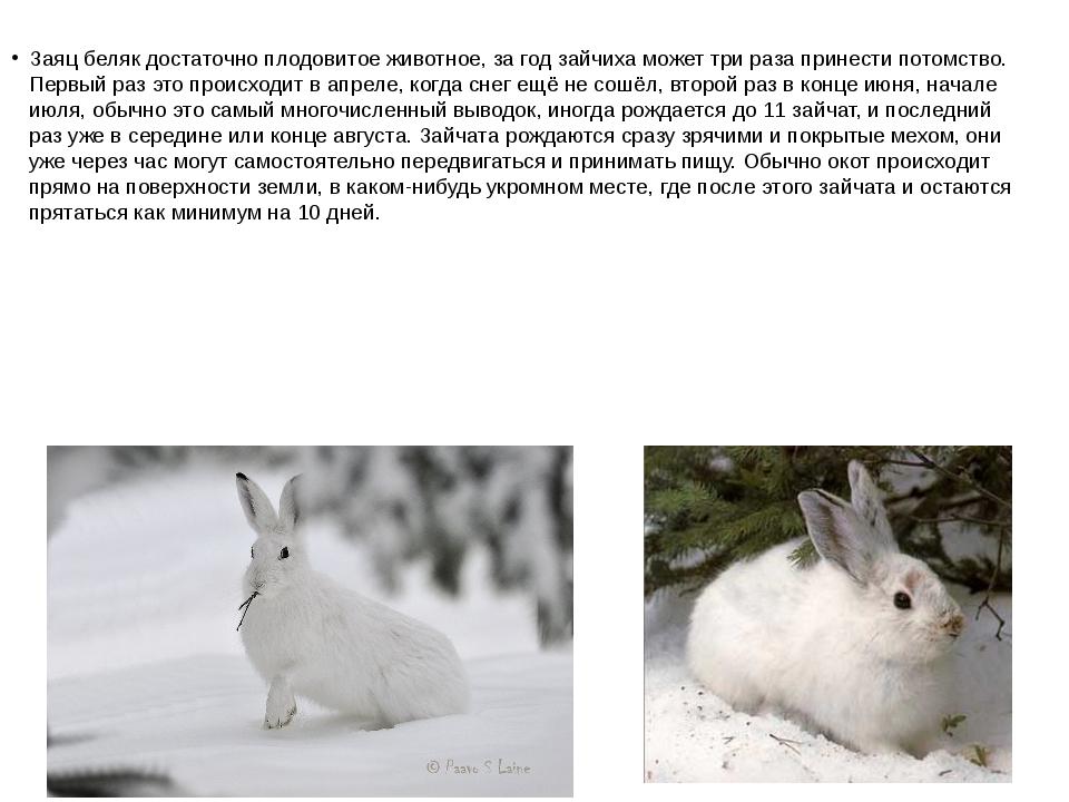 Заяц беляк достаточно плодовитое животное, за год зайчиха может три раза прин...