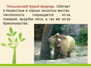 Тяньшанский бурый медведь. Обитает в Казахстане в горных лесистых местах. Чи