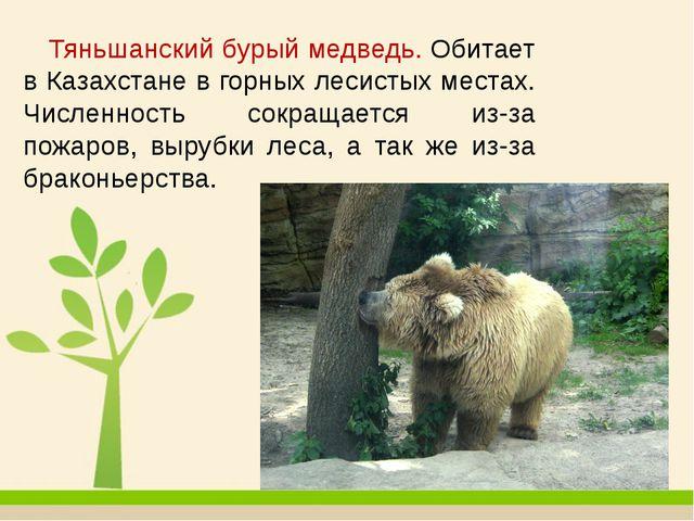 Тяньшанский бурый медведь. Обитает в Казахстане в горных лесистых местах. Чи...