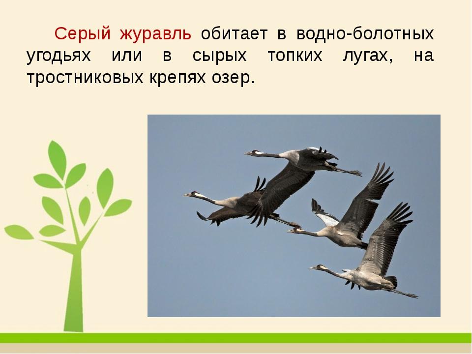 Серый журавль обитает в водно-болотных угодьях или в сырых топких лугах, на...