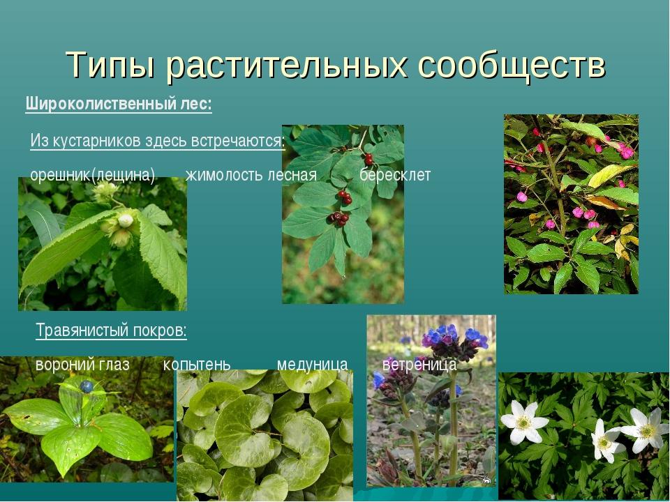 Типы растительных сообществ Широколиственный лес: Из кустарников здесь встреч...