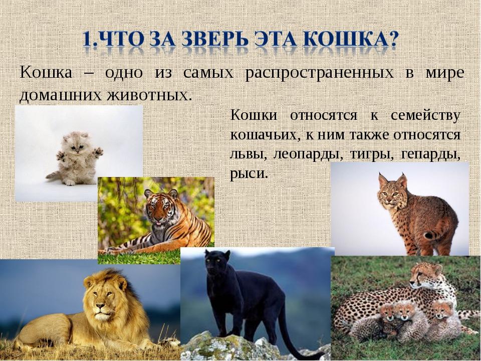 Кошка – одно из самых распространенных в мире домашних животных. Кошки относя...