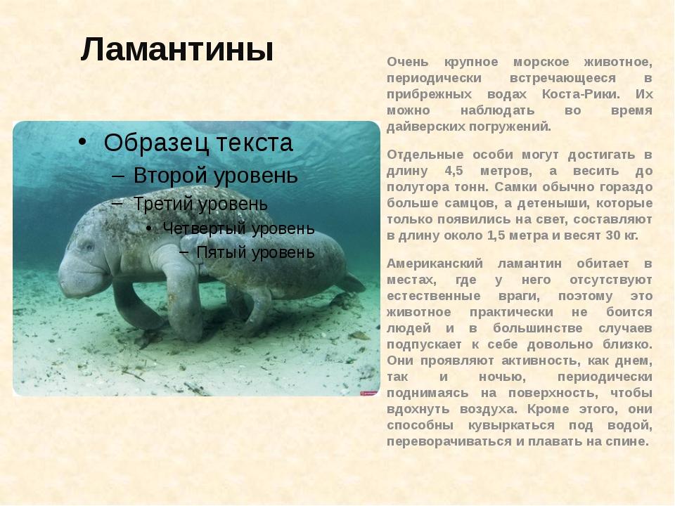Ламантины Очень крупное морское животное, периодически встречающееся в прибре...