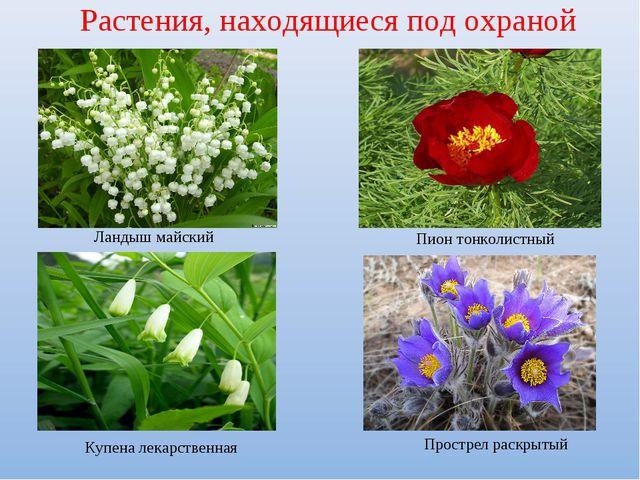 Растения, находящиеся под охраной Ландыш майский Пион тонколистный Купена лек...