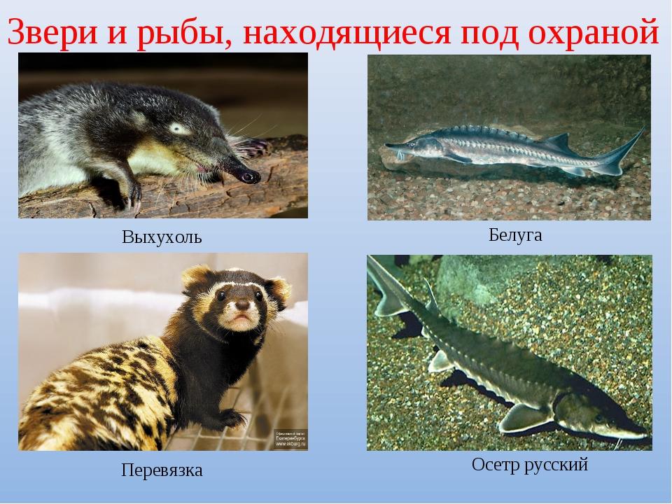 Звери и рыбы, находящиеся под охраной Выхухоль Белуга Перевязка Осетр русский