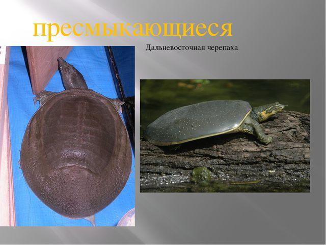 Дальневосточная черепаха пресмыкающиеся