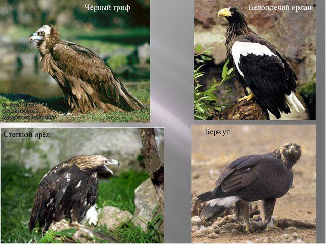 Чёрный гриф Белоплечий орлан Беркут Степной орёл
