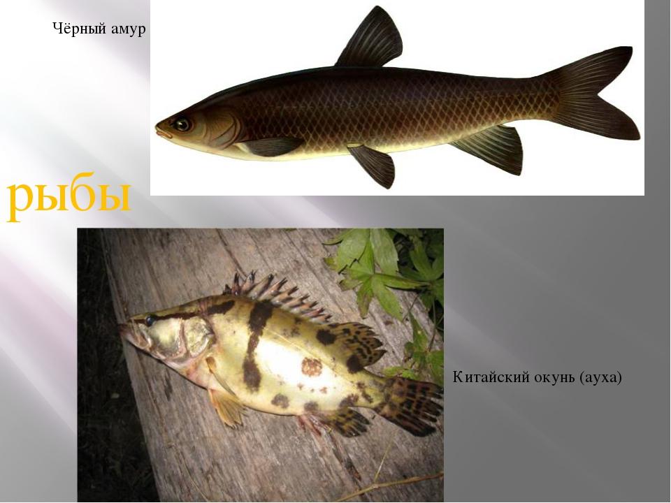 Чёрный амур Китайский окунь (ауха) рыбы