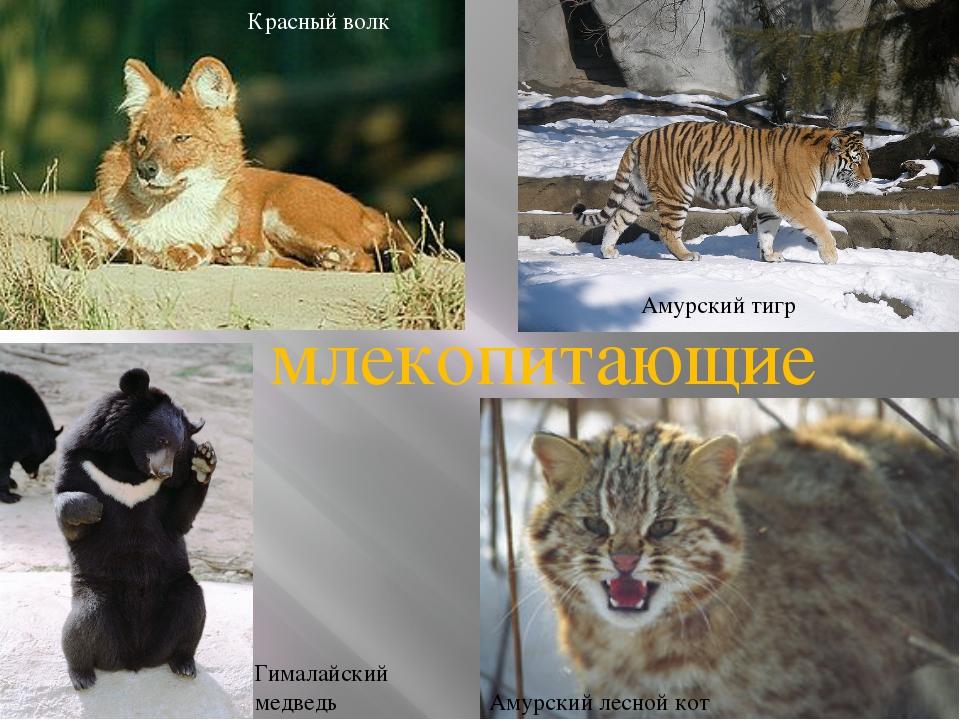 Красный волк Амурский тигр Гималайский медведь Амурский лесной кот млекопитаю...