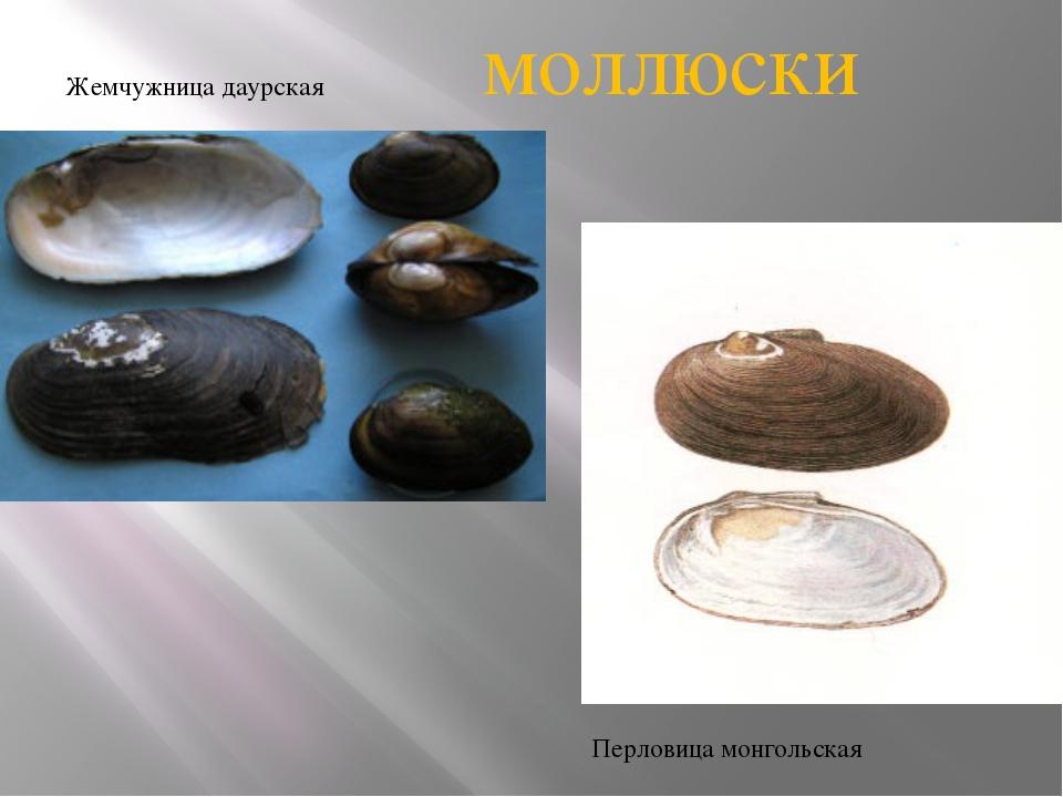 Жемчужница даурская Перловица монгольская моллюски