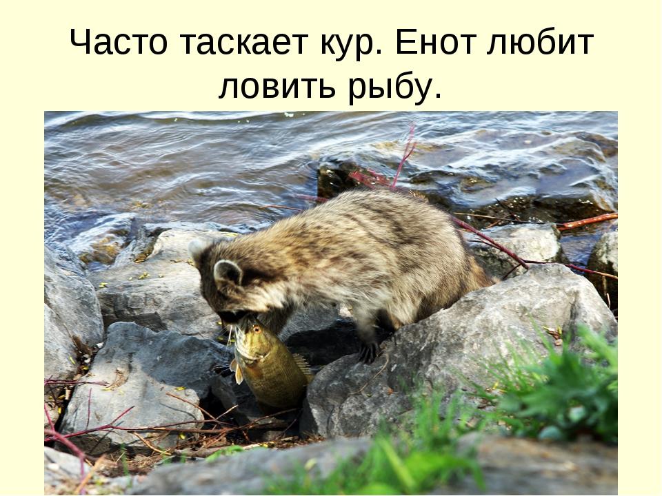 Часто таскает кур. Енот любит ловить рыбу.
