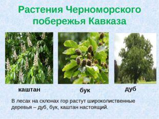 Растения Черноморского побережья Кавказа В лесах на склонах гор растут широко