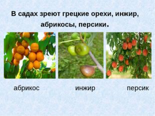 В садах зреют грецкие орехи, инжир, абрикосы, персики. абрикос инжир персик