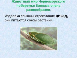 Животный мир Черноморского побережья Кавказа очень разнообразен. Издалека слы