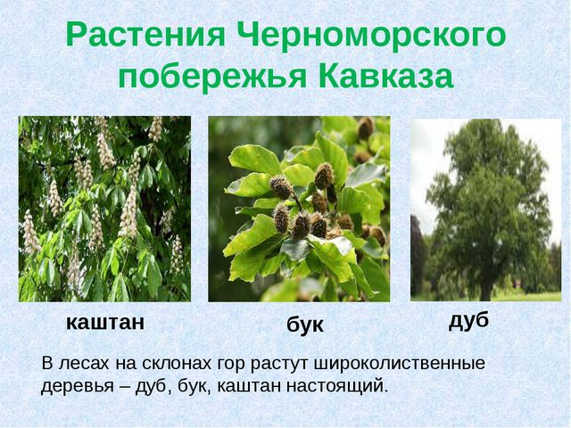 Растения Черноморского побережья Кавказа В лесах на склонах гор растут широко...