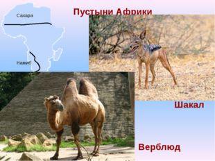 Пустыни Африки Сахара Намиб Шакал Верблюд