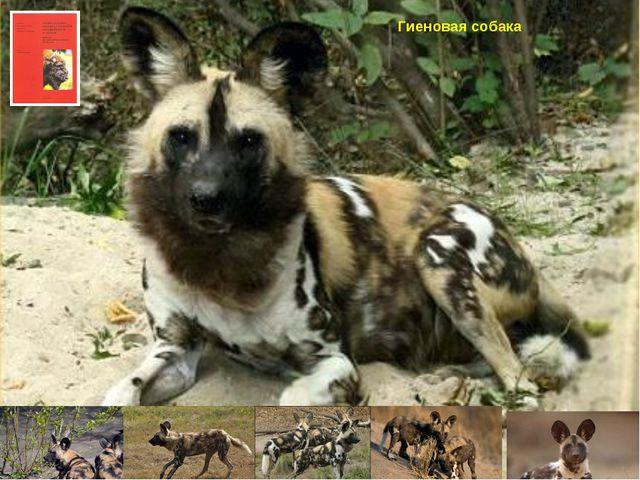 Гиеновая собака