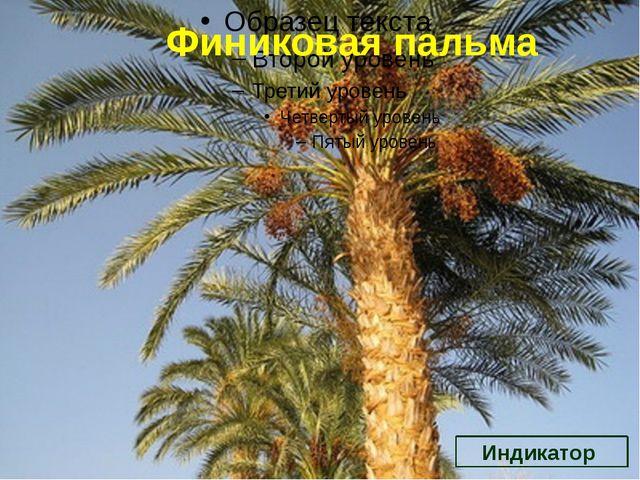 Финиковая пальма Индикатор